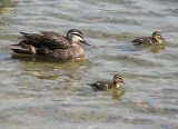 Pacific Black Duck and ducklings.jpg