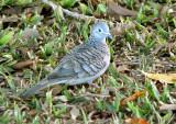 Peaceful Dove  (Geopela placida).jpg
