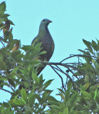 Wompoo Fruit-dove   (Ptilonopus magnificus).jpg