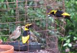 Regent Bowerbirds   (Sericulus chrysocephalus).jpg