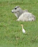 Cattle Egret   (Ardea ibis).jpg