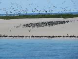 Michaelmas Cay and the tern colonies.jpg