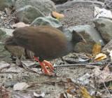 Orange-footed Scrubfowl.   (Megapodius reinwardt )jpg