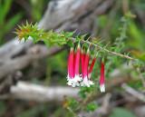 Fuchsia Heath   (Epacris longifolia).jpg