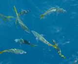 Fishes seen from the boat at Hastings Reef.jpg