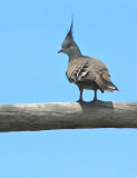 Crested Pigeon   (Ocyphaps lophotes).jpg