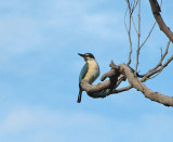 Sacred Kingfisher   (Todiramphus sanctus).jpg