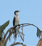 Little Pied Cormorant juv.   (Phalacrocorax melanoleucos).jpg