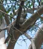 Tawny Frogmouth   (Podargus strigoides).jpg
