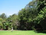 Sydney Botanical Gardens with Fruit-bat roosting tree.jpg