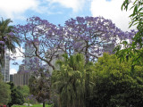 Sydney Botanical Gardens with Flowering Jacaranda.jpg