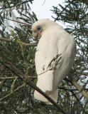 Little Corella   (Cacatua sanguinea)..jpg