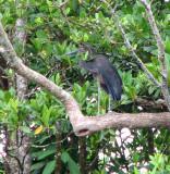 Great-billed Heron   (Ardea sumatrana).jpg