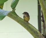 Pale-yellow Robin   (Tregellasia capito).jpg