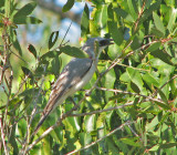 White-bellied Cuckoo-shrike   (Coracina papuensis).jpg