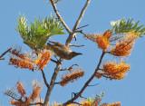 Little Friarbird   (Pilemon citreogularis) on Grevilia.jpg