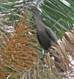 Little Black Cormorant   (Phalacrocorax sulcirostris)..jpg