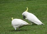 Sulphur-crested Cockatoo   (Cacatua gallerita).jpg.jpg