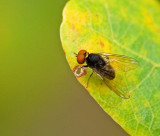Svampfluga (Agathomyia antennata).jpg