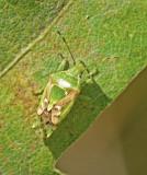 Swedish Shieldbugs, Bärfisar (Pentatomidae)