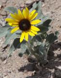 ASTERACEAE - BERLANDIEARA LYRATA - CHOCOLATE FLOWER - MESILLA VALLEY BOSQUE STATE PARK NEW MEXICO (2).JPG