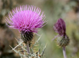 ASTERACEAE - CIRSIUM OCHROCENTRUM - YELLOW SPINE THISTLE - DRIPPING SPRING NEW MEXICO.JPG