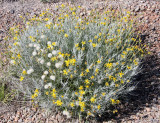 ASTERACEAE - DESERT COMPOSIT SPECIES - WHITE SANDS NATIONAL MONUMENT NEW MEXICO.JPG