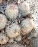 CACTACEAE - CORYPANTHA ORGANENSIS - ORGAN MOUNTAINS PINCUSHION CACTUS - DRIPPING SPRING NEW MEXICO.JPG