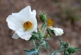 PAPAVERACEAE - Eschscholzia glyptosperma - DESERT POPPY - WHITE SANDS NATIONAL MONUMENT NEW MEXICO.JPG