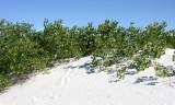 SALICACEAE - POPULUS FREMONTII VAR. WIZLEZENII - RIO GRANDE COTTONWOOD - WHITE SANDS NATIONAL MONUMENT.JPG