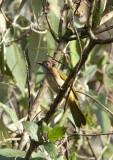BIRD - BULBUL - MOUNTAIN BULBUL - WULIANGSHAN NATURE RESERVE YUNNAN CHINA (3).JPG