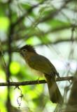 BIRD - BULBUL - MOUNTAIN BULBUL - WULIANGSHAN NATURE RESERVE YUNNAN CHINA.JPG