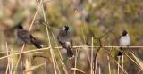 BIRD - BULBUL - REDVENTED BULBUL - WETLANDS NEAR ERHAI LAKE DALI YUNNAN CHINA (8).JPG
