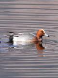 BIRD - DUCK - EURASIAN WIGEON - CAO HAI WETLANDS YUNNAN CHINA (5).JPG