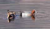 BIRD - DUCK - EURASIAN WIGEON - CAO HAI WETLANDS YUNNAN CHINA (7).JPG