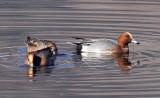 BIRD - DUCK - EURASIAN WIGEON - CAO HAI WETLANDS YUNNAN CHINA (8).JPG