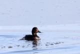 BIRD - DUCK - FERRUGINOUS POCHARD - WETLANDS NEAR ERHAI LAKE DALI YUNNAN CHINA (5).JPG