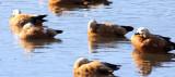BIRD - DUCK - RUDDY SHELDUCK - CAO HAI WETLANDS PARK NEAR LIJIANG YUNNAN CHINA (1).JPG