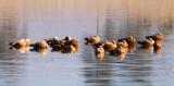BIRD - DUCK - RUDDY SHELDUCK - CAO HAI WETLANDS PARK NEAR LIJIANG YUNNAN CHINA (7).JPG