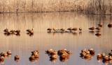 BIRD - DUCK - RUDDY SHELDUCK - CAO HAI WETLANDS PARK NEAR LIJIANG YUNNAN CHINA (9).JPG