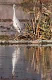 BIRD - HERON - GRAY HERON - WETLANDS NEAR ERHAI LAKE DALI YUNNAN CHINA (2).JPG