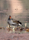BIRD - MOORHEN - COMMON MOORHEN - WETLANDS NEAR ERHAI LAKE DALI YUNNAN CHINA (1).JPG