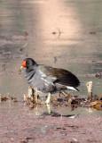 BIRD - MOORHEN - COMMON MOORHEN - WETLANDS NEAR ERHAI LAKE DALI YUNNAN CHINA (7).JPG