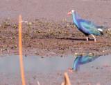 BIRD - PURPLE SWAMPHEN - WETLANDS NEAR DALI YUNNAN CHINA (15).JPG
