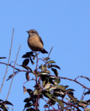 BIRD - REDSTART - BLUE-FRONTED REDSTART FEMALE - BLUE CHAT - LIJIAN HIGHLANDS YUNNAN (1).JPG