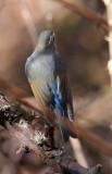 BIRD - ROBIN - ORANGE-FLANKED BUSH ROBIN - BAIMA SNOW MOUNTAIN NP YUNNAN CHINA (2).JPG