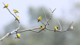 BIRD - SISKIN - TIBETAN SISKIN - WULIANGSHAN NATURE RESERVE YUNNAN CHINA (1).JPG