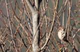 BIRD - SPARROW - EURASIAN TREE SPARROW - LIJIANG REGION - YUNNAN HIGHLANDS (6).JPG