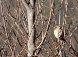 BIRD - SPARROW - EURASIAN TREE SPARROW - LIJIANG REGION - YUNNAN HIGHLANDS (8).JPG