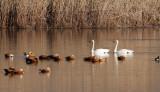 BIRD - SWAN - TUNDRA SWAN - CAO HAI WETLANDS PARK NEAR LIJIANG YUNNAN CHINA (12).JPG